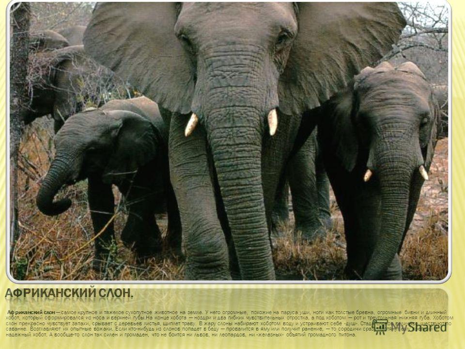 Африканский слон самое крупное и тяжелое сухопутное животное на земле. У него огромные, похожие на паруса уши, ноги как толстые бревна, огромные бивни и длинный хобот, который сформировался из носа и верхней губы.На конце хобота ноздри и два гибких ч