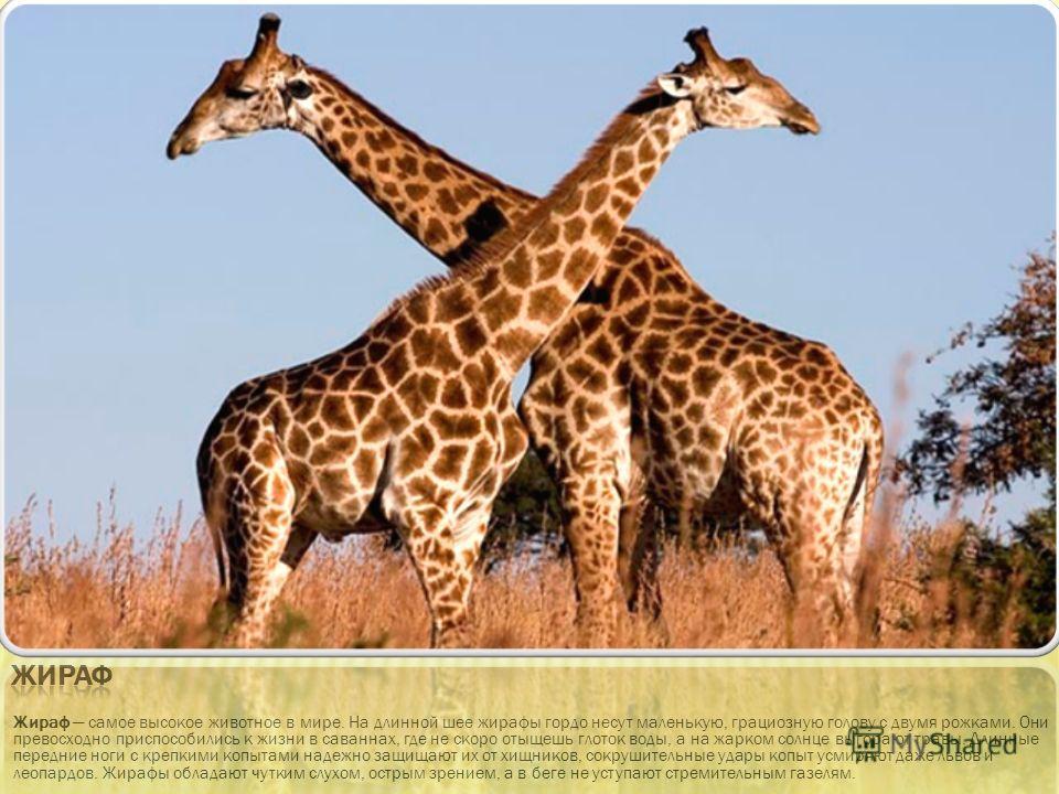 Жираф самое высокое животное в мире. На длинной шее жирафы гордо несут маленькую, грациозную голову с двумя рожками. Они превосходно приспособились к жизни в саваннах, где не скоро отыщешь глоток воды, а на жарком солнце выгорают травы. Длинные перед
