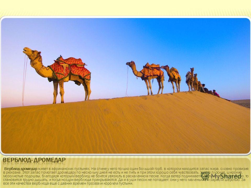 Верблюд-дромедар живет в африканских пустынях. На спине у него только один большой горб, в котором находится запас жира, словно провизия в рюкзаке. Этот запас помогает дромедару по нескольку дней не есть и не пить и при этом хорошо себя чувствовать.