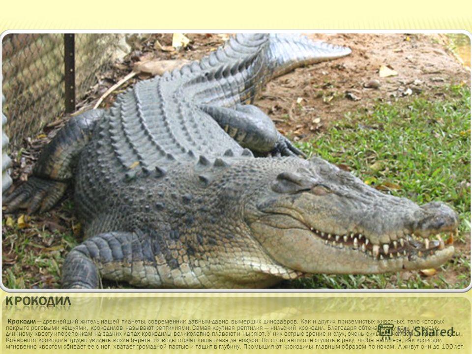 Крокодил древнейший житель нашей планеты, современник давным-давно вымерших динозавров. Как и других приземистых животных, тело которых покрыто роговыми чешуями, крокодилов называют рептилиями. Самая крупная рептилия нильский крокодил. Благодаря обте
