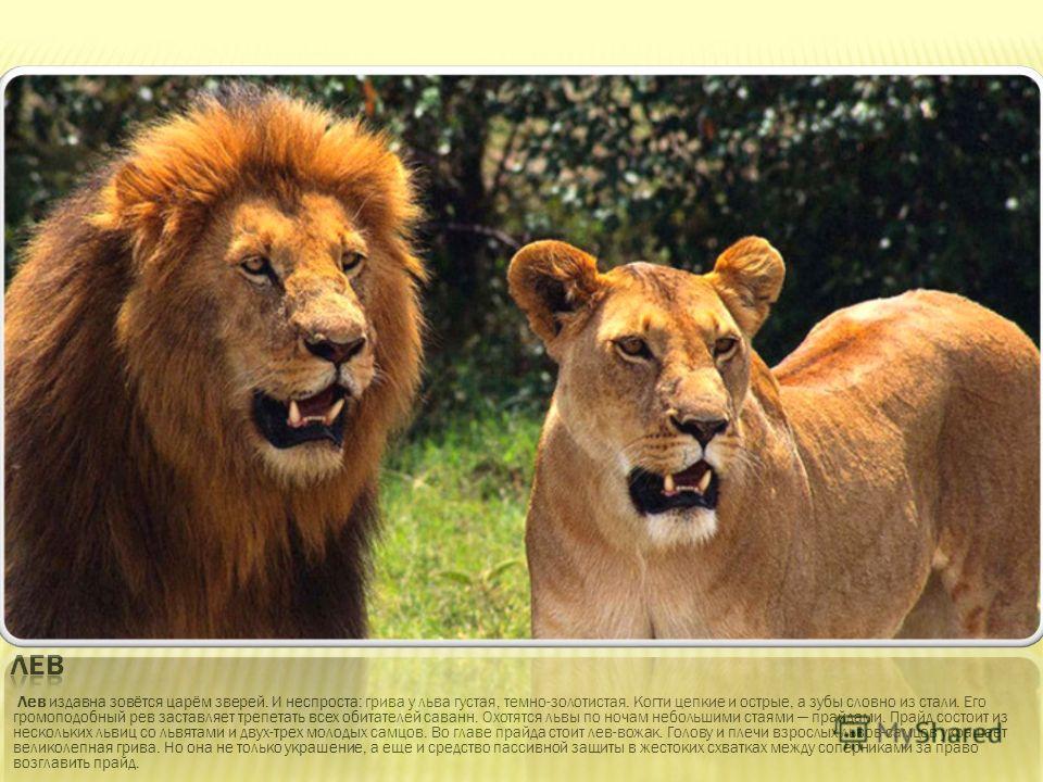 Лев издавна зовётся царём зверей. И неспроста: грива у льва густая, темно-золотистая. Когти цепкие и острые, а зубы словно из стали. Его громоподобный рев заставляет трепетать всех обитателей саванн. Охотятся львы по ночам небольшими стаями прайдами.