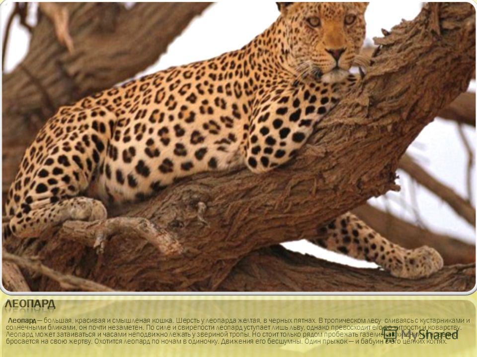 Леопард большая, красивая и смышленая кошка. Шерсть у леопарда желтая, в черных пятнах. В тропическом лесу, сливаясь с кустарниками и солнечными бликами, он почти незаметен. По силе и свирепости леопард уступает лишь льву, однако превосходит его по х