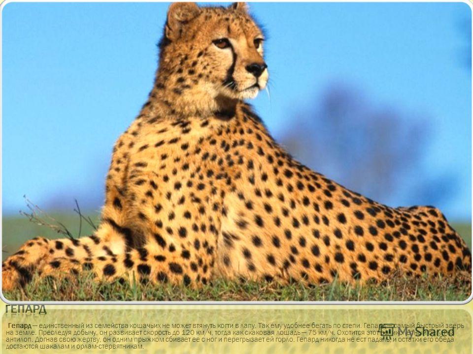 Гепард единственный из семейства кошачьих не может втянуть когти в лапу. Так ему удобнее бегать по степи. Гепард самый быстрый зверь на земле. Преследуя добычу, он развивает скорость до 120 км/ч, тогда как скаковая лошадь 75 км/ч. Охотится этот велик