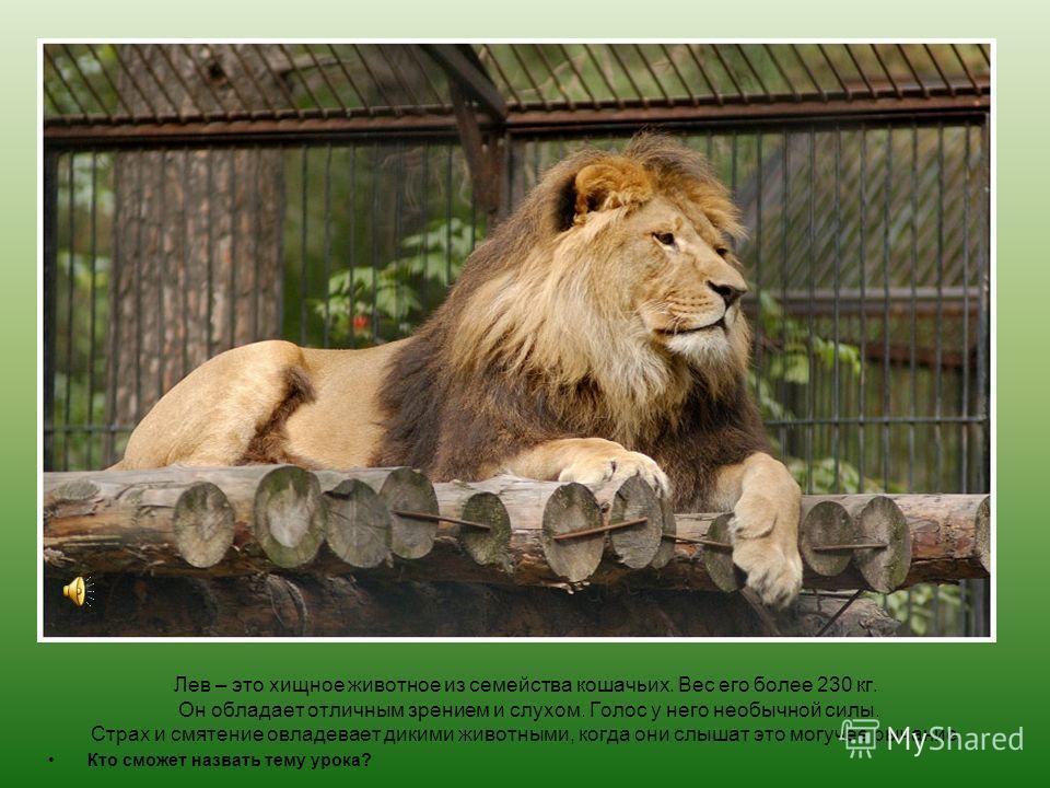 Лев – это хищное животное из семейства кошачьих. Вес его более 230 кг. Он обладает отличным зрением и слухом. Голос у него необычной силы. Страх и смятение овладевает дикими животными, когда они слышат это могучее рычание. Кто сможет назвать тему уро