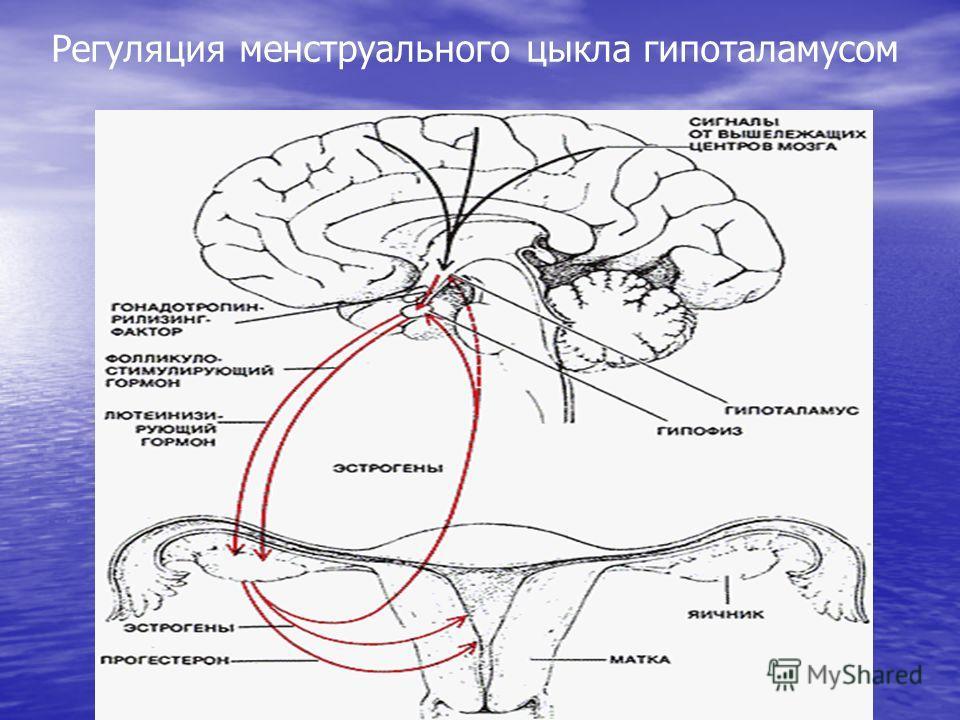 Регуляция менструального цыкла гипоталамусом