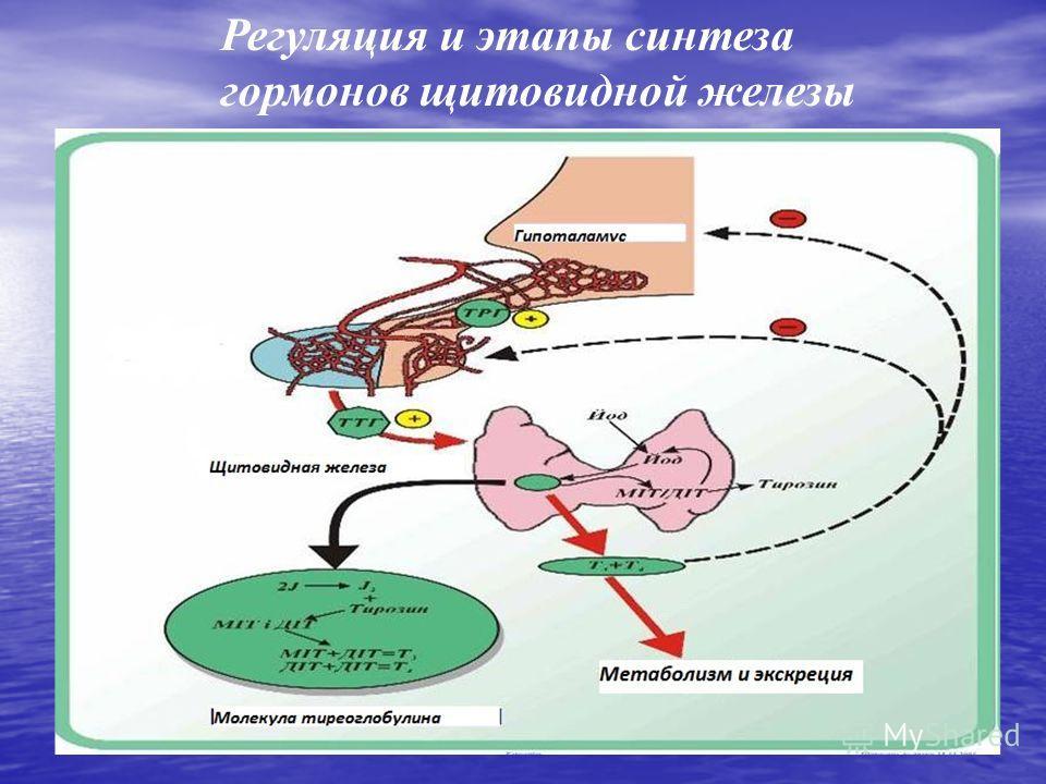 Регуляция и этапы синтеза гормонов щитовидной железы