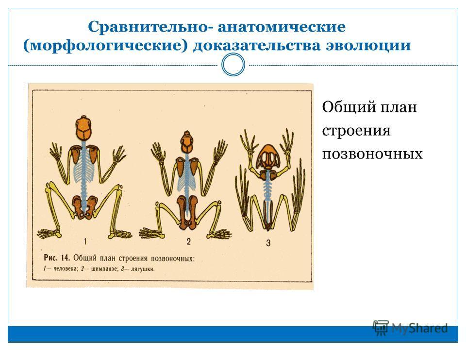 Сравнительно- анатомические (морфологические) доказательства эволюции Общий план строения позвоночных