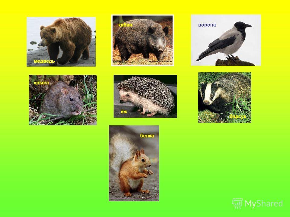 медведь кабанворона крыса ёж барсук белка
