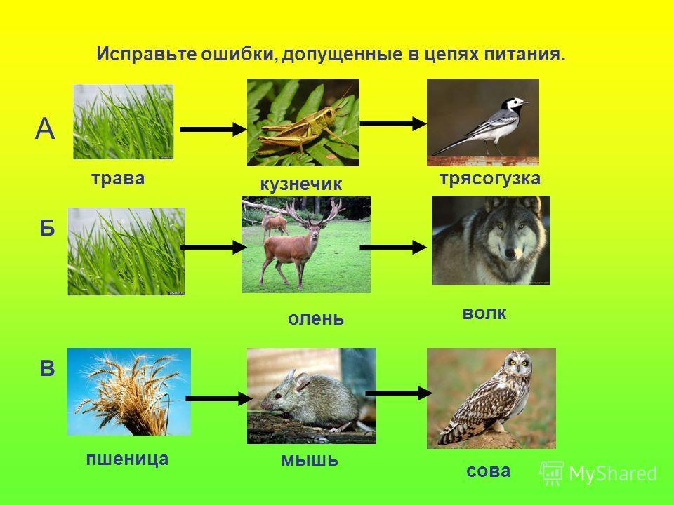 Исправьте ошибки, допущенные в цепях питания. А Б В трава кузнечик трясогузка волк олень пшеница мышь сова