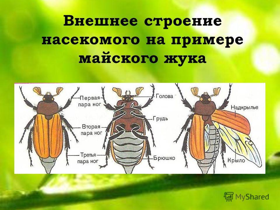 Внешнее строение насекомого на примере майского жука