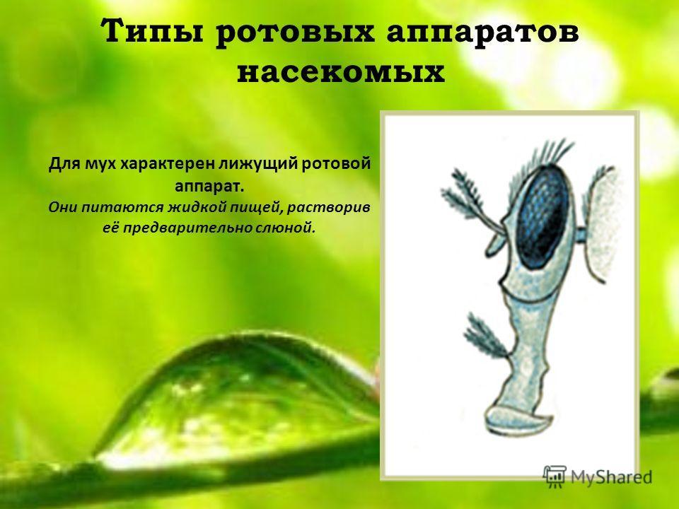 Типы ротовых аппаратов насекомых Для мух характерен лижущий ротовой аппарат. Они питаются жидкой пищей, растворив её предварительно слюной.