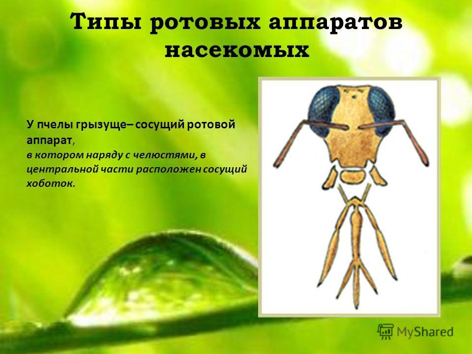 Типы ротовых аппаратов насекомых У пчелы грызуще– сосущий ротовой аппарат, в котором наряду с челюстями, в центральной части расположен сосущий хоботок.