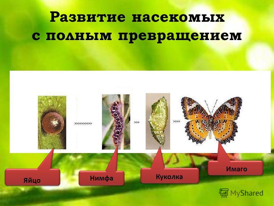 Развитие насекомых с полным превращением Яйцо Нимфа Куколка Имаго
