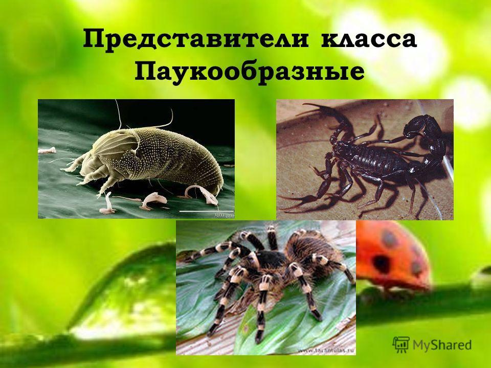 Представители класса Паукообразные