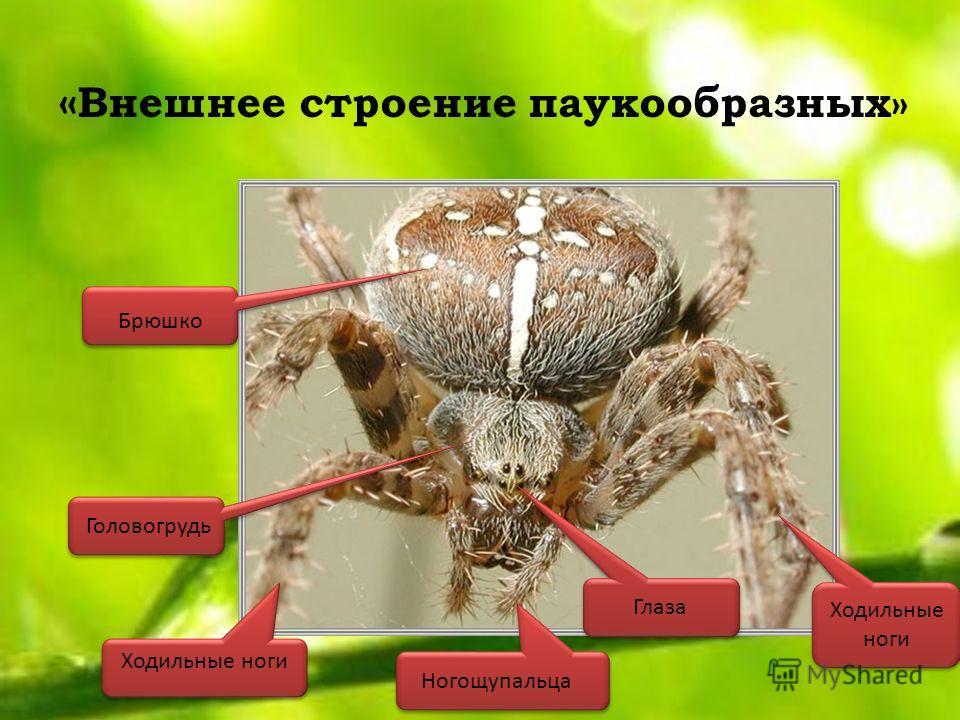 « Внешнее строение паукообразных» Брюшко Ногощупальца Глаза Ходильные ноги Головогрудь Ходильные ноги