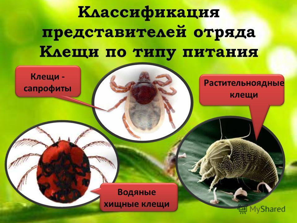Классификация представителей отряда Клещи по типу питания Клещи - сапрофиты Растительноядные клещи Водяные хищные клещи