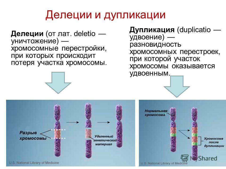 Делеции и дупликации Делеции (от лат. deletio уничтожение) хромосомные перестройки, при которых происходит потеря участка хромосомы. Дупликация (duplicatio удвоение) разновидность хромосомных перестроек, при которой участок хромосомы оказывается удво