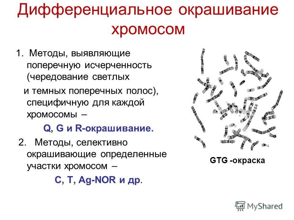 Дифференциальное окрашивание хромосом 1. Методы, выявляющие поперечную исчерченность (чередование светлых и темных поперечных полос), специфичную для каждой хромосомы – Q, G и R-окрашивание. 2. Методы, селективно окрашивающие определенные участки хро