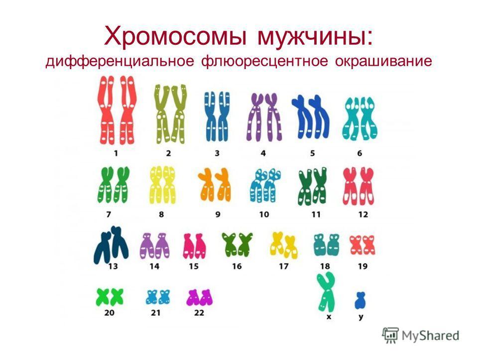 Хромосомы мужчины: дифференциальное флюоресцентное окрашивание