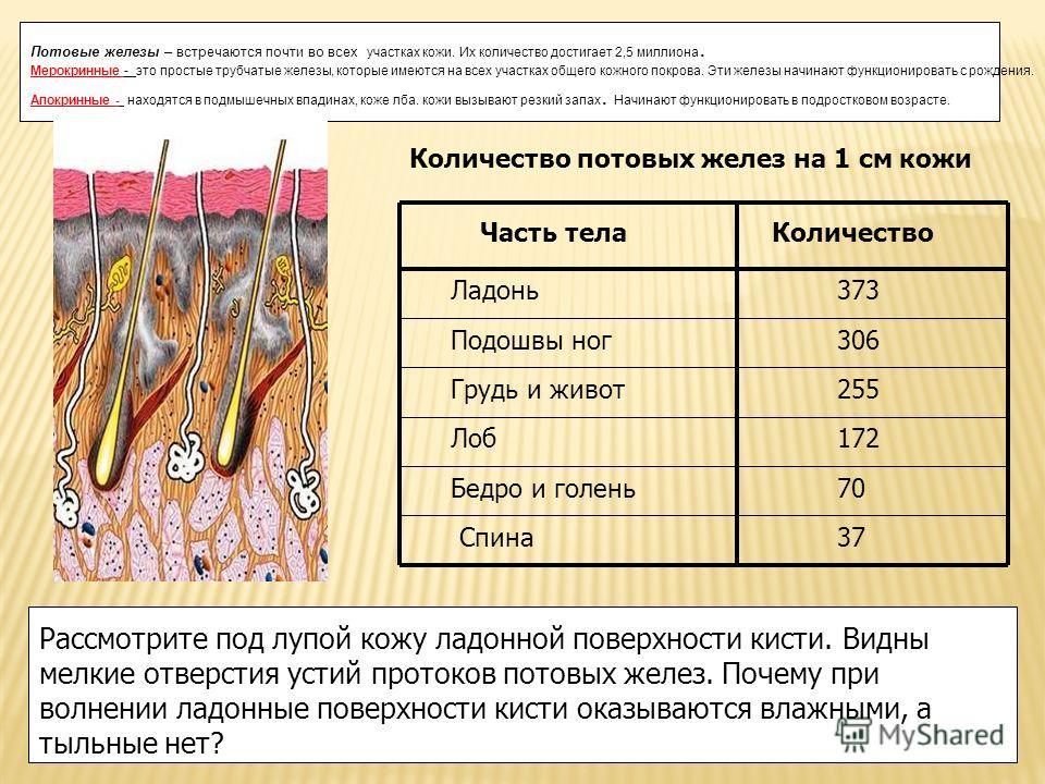 Потовые железы – встречаются почти во всех участках кожи. Их количество достигает 2,5 миллиона. Мерокринные - это простые трубчатые железы, которые имеются на всех участках общего кожного покрова. Эти железы начинают функционировать с рождения. Апокр