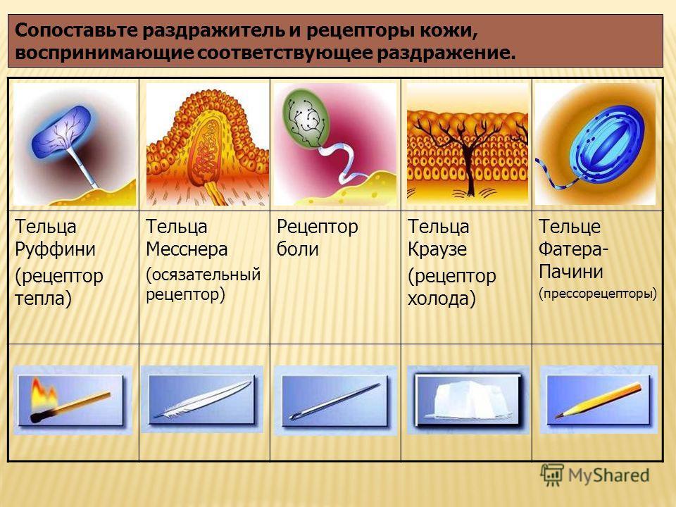 Тельца Руффини (рецептор тепла) Тельца Месснера (осязательный рецептор) Рецептор боли Тельца Краузе (рецептор холода) Тельце Фатера- Пачини (прессорецепторы) Сопоставьте раздражитель и рецепторы кожи, воспринимающие соответствующее раздражение.