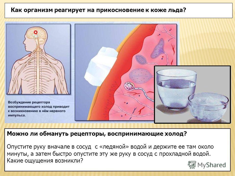 Как организм реагирует на прикосновение к коже льда? Можно ли обмануть рецепторы, воспринимающие холод? Опустите руку вначале в сосуд с «ледяной» водой и держите ее там около минуты, а затем быстро опустите эту же руку в сосуд с прохладной водой. Как