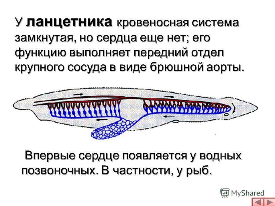 У ланцетника кровеносная система замкнутая, но сердца еще нет; его функцию выполняет передний отдел крупного сосуда в виде брюшной аорты. Впервые сердце появляется у водных позвоночных. В частности, у рыб.