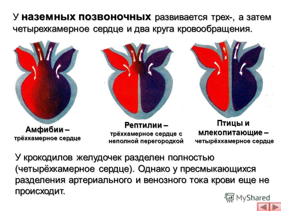 У наземных позвоночных развивается трех-, а затем четырехкамерное сердце и два круга кровообращения. Амфибии – трёхкамерное сердце Рептилии – трёхкамерное сердце с неполной перегородкой Птицы и млекопитающие – четырёхкамерное сердце У крокодилов желу