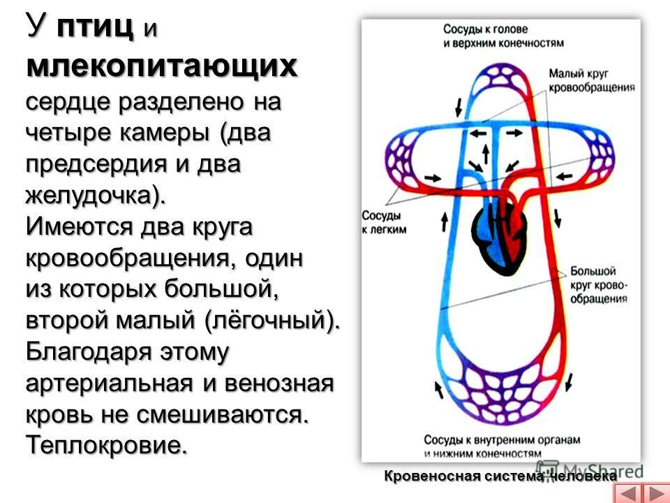 У птиц и млекопитающих сердце разделено на четыре камеры (два предсердия и два желудочка). Имеются два круга кровообращения, один из которых большой, второй малый (лёгочный). Благодаря этому артериальная и венозная кровь не смешиваются. Теплокровие.