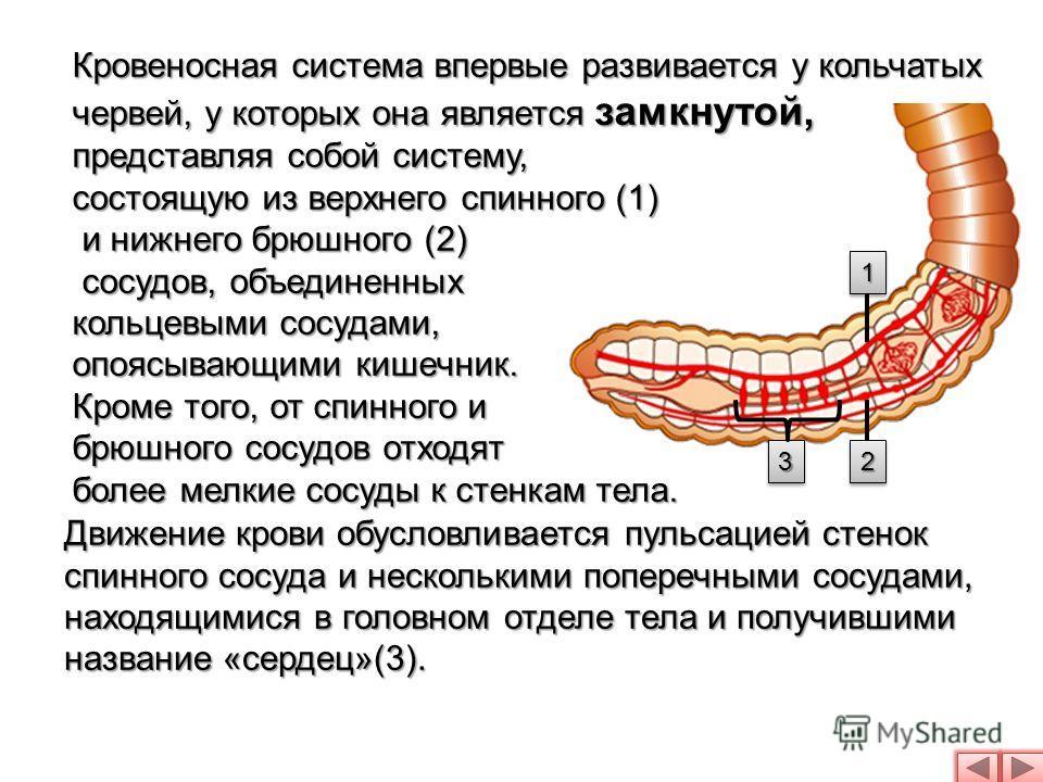 Кровеносная система впервые развивается у кольчатых червей, у которых она является замкнутой, представляя собой систему, состоящую из верхнего спинного (1) и нижнего брюшного (2) и нижнего брюшного (2) сосудов, объединенных сосудов, объединенных коль