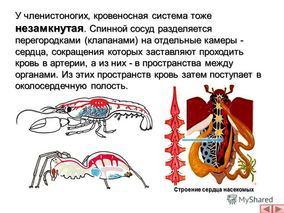 У членистоногих, кровеносная система тоже незамкнутая. Спинной сосуд разделяется перегородками (клапанами) на отдельные камеры - сердца, сокращения которых заставляют проходить кровь в артерии, а из них - в пространства между органами. Из этих простр