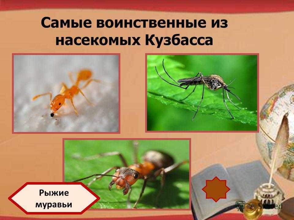 http://pedsovet.su/load/321 Самые воинственные из насекомых Кузбасса Рыжие муравьи