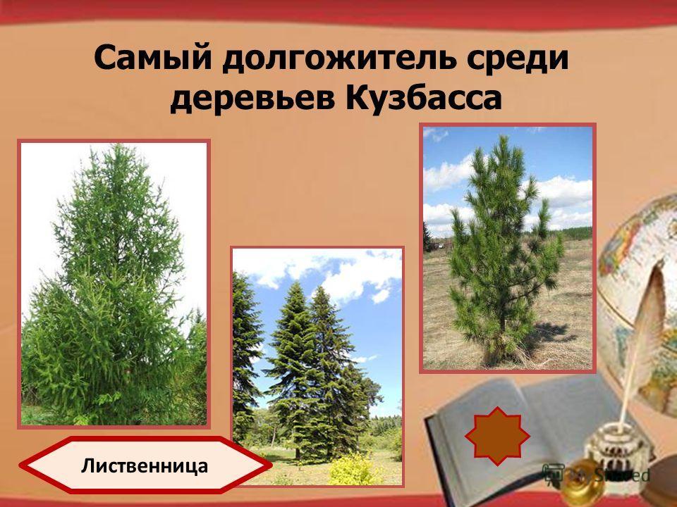 http://pedsovet.su/load/321 Самый долгожитель среди деревьев Кузбасса Лиственница