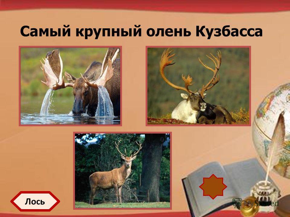 http://pedsovet.su/load/321 Самый крупный олень Кузбасса Лось