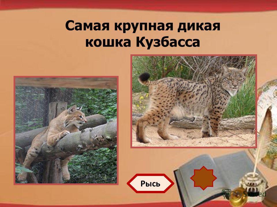 http://pedsovet.su/load/321 Самая крупная дикая кошка Кузбасса Рысь