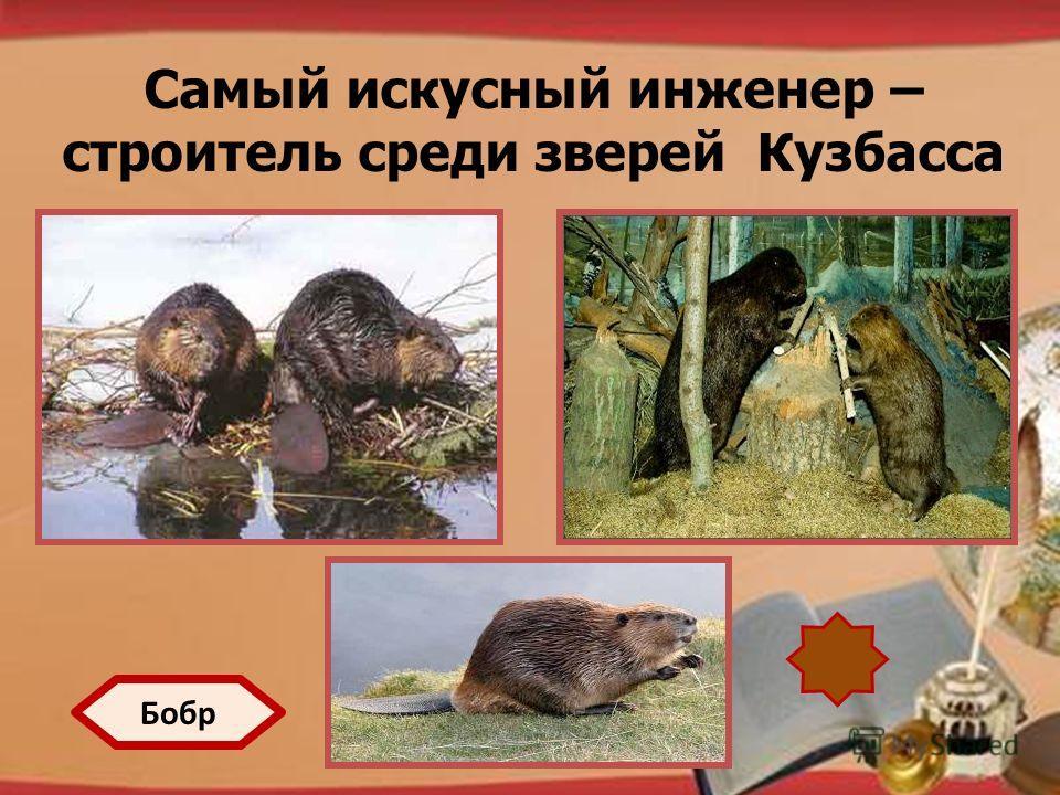 http://pedsovet.su/load/321 Самый искусный инженер – строитель среди зверей Кузбасса Бобр