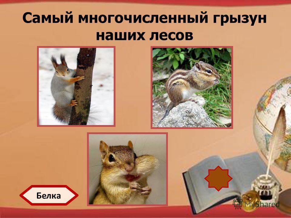 http://pedsovet.su/load/321 Самый многочисленный грызун наших лесов Белка
