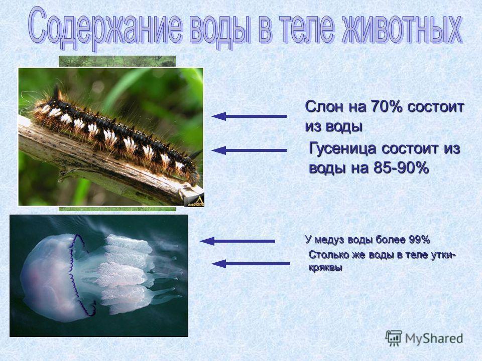 Слон на 70% состоит из воды Столько же воды в теле утки- кряквы Гусеница состоит из воды на 85-90% У медуз воды более 99%