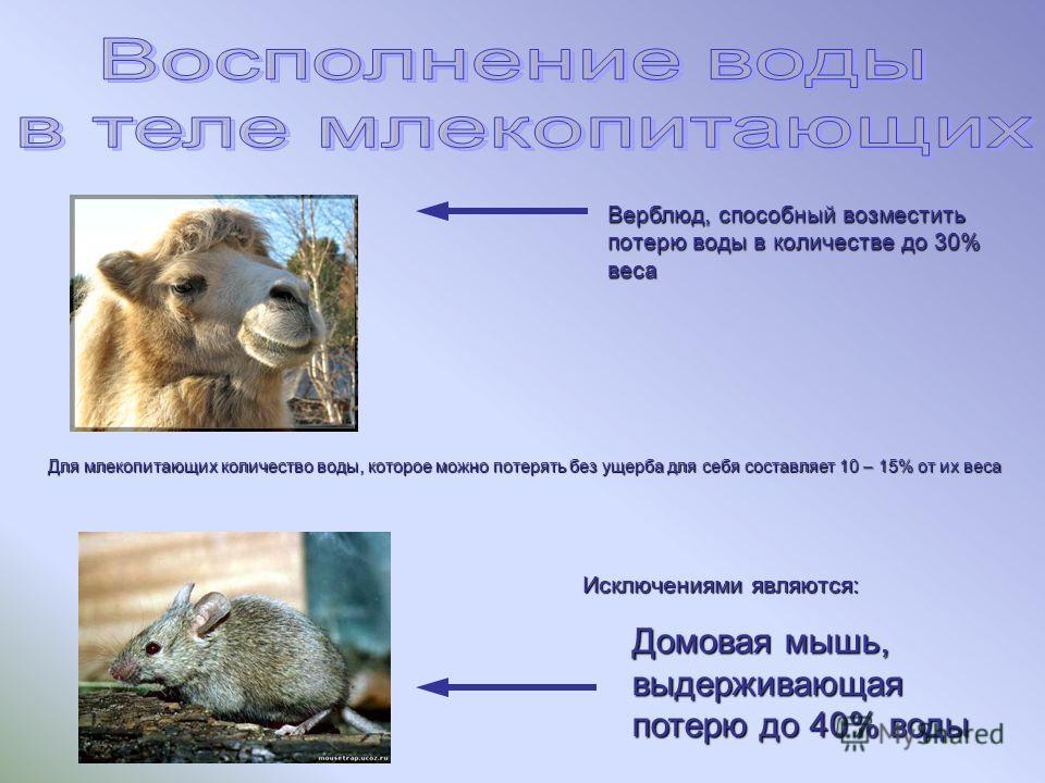 Для млекопитающих количество воды, которое можно потерять без ущерба для себя составляет 10 – 15% от их веса Исключениями являются: Верблюд, способный возместить потерю воды в количестве до 30% веса Домовая мышь, выдерживающая потерю до 40% воды