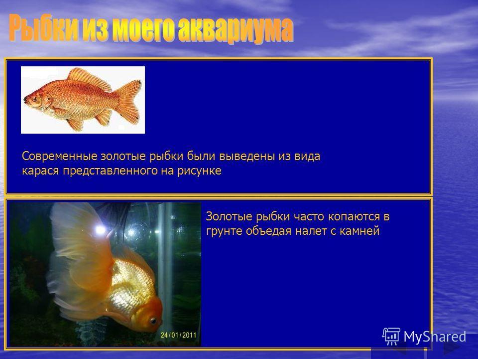 Современные золотые рыбки были выведены из вида карася представленного на рисунке Золотые рыбки часто копаются в грунте объедая налет с камней