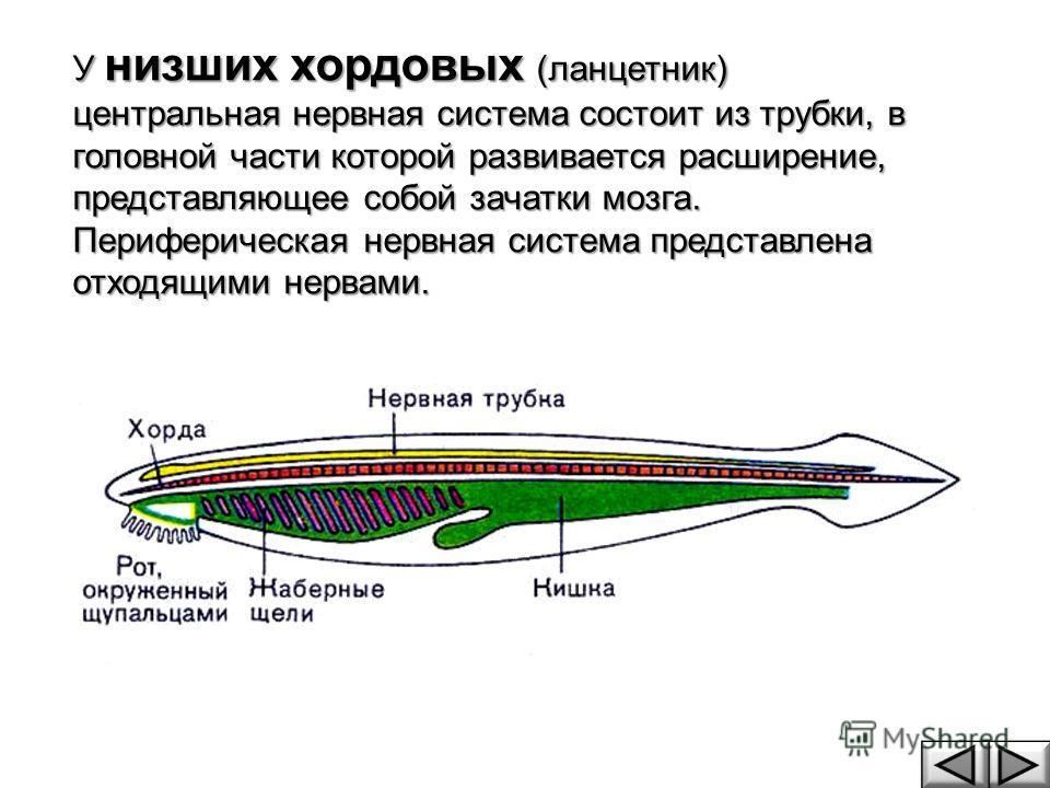У низших хордовых (ланцетник) центральная нервная система состоит из трубки, в головной части которой развивается расширение, представляющее собой зачатки мозга. Периферическая нервная система представлена отходящими нервами.