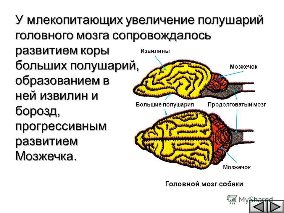 У млекопитающих увеличение полушарий головного мозга сопровождалось развитием коры больших полушарий, образованием в ней извилин и борозд,прогрессивнымразвитиемМозжечка. Продолговатый мозг Мозжечок Большие полушария Извилины Головной мозг собаки