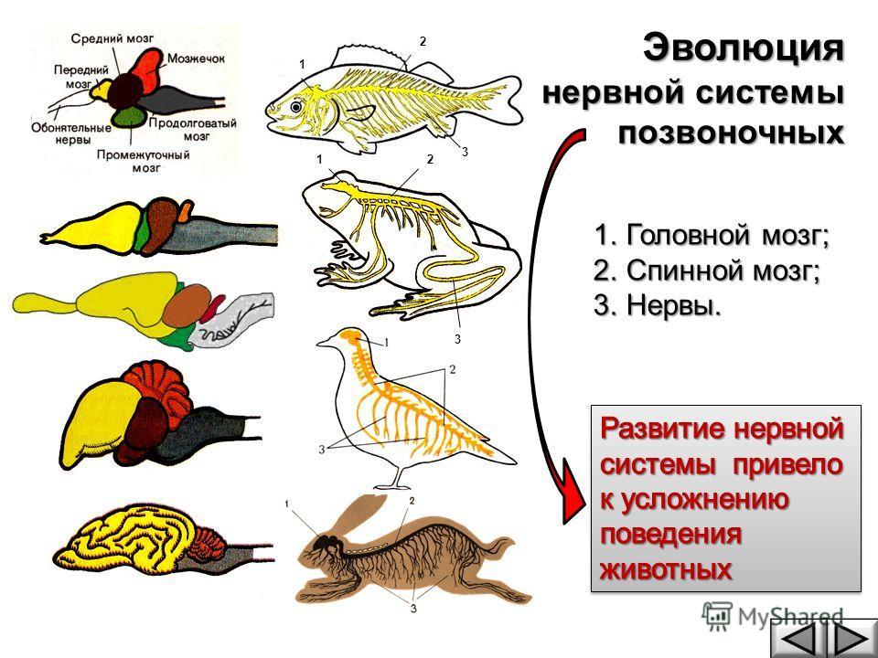 1 1 2 3 2 3 Эволюция нервной системы позвоночных 1.Головной мозг; 2.Спинной мозг; 3.Нервы.