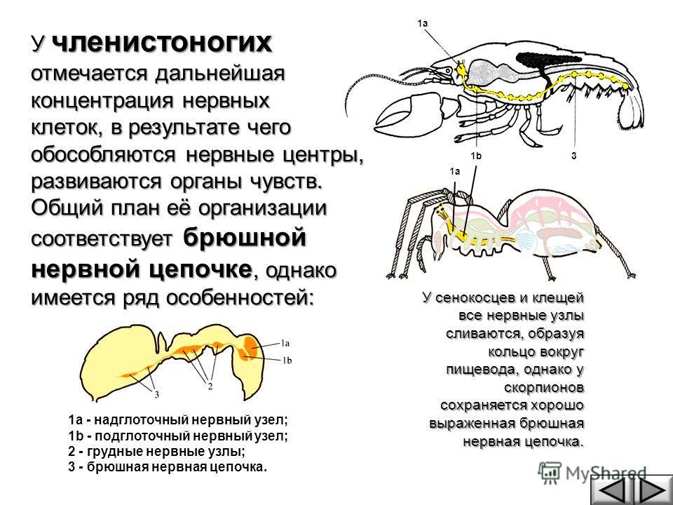 У членистоногих отмечается дальнейшая концентрация нервных клеток, в результате чего обособляются нервные центры, развиваются органы чувств. Общий план её организации соответствует брюшной нервной цепочке, однако имеется ряд особенностей: У сенокосце