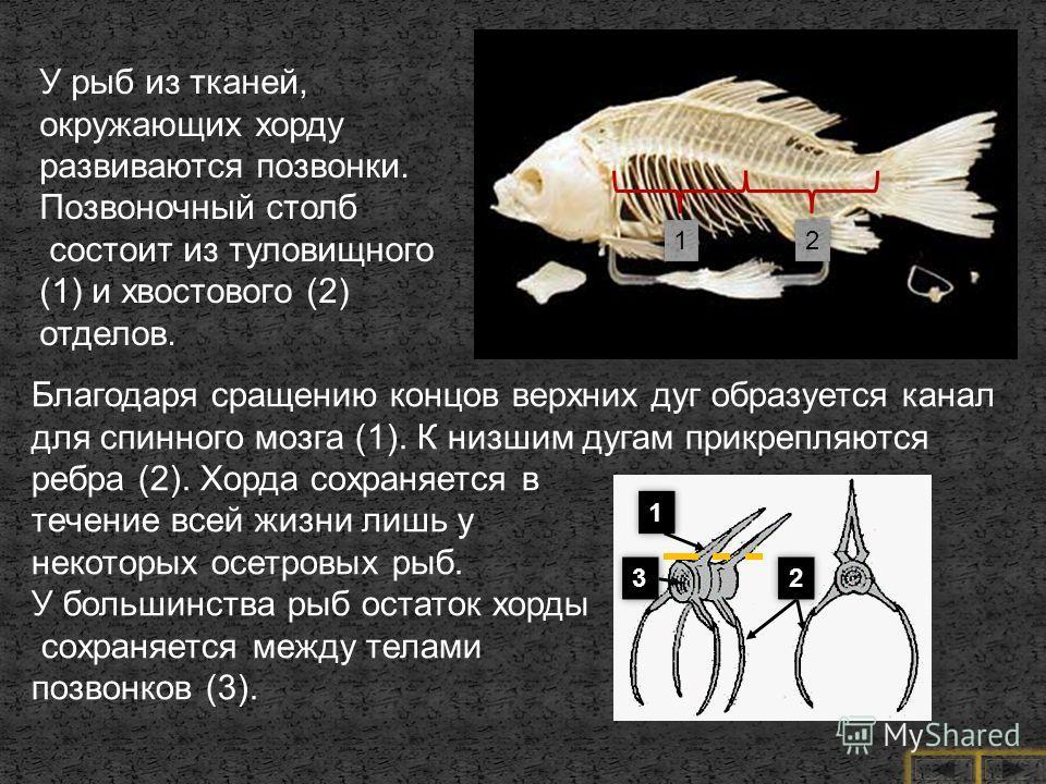 У рыб из тканей, окружающих хорду развиваются позвонки. Позвоночный столб состоит из туловищного (1) и хвостового (2) отделов. Благодаря сращению концов верхних дуг образуется канал для спинного мозга (1). К низшим дугам прикрепляются ребра (2). Хорд