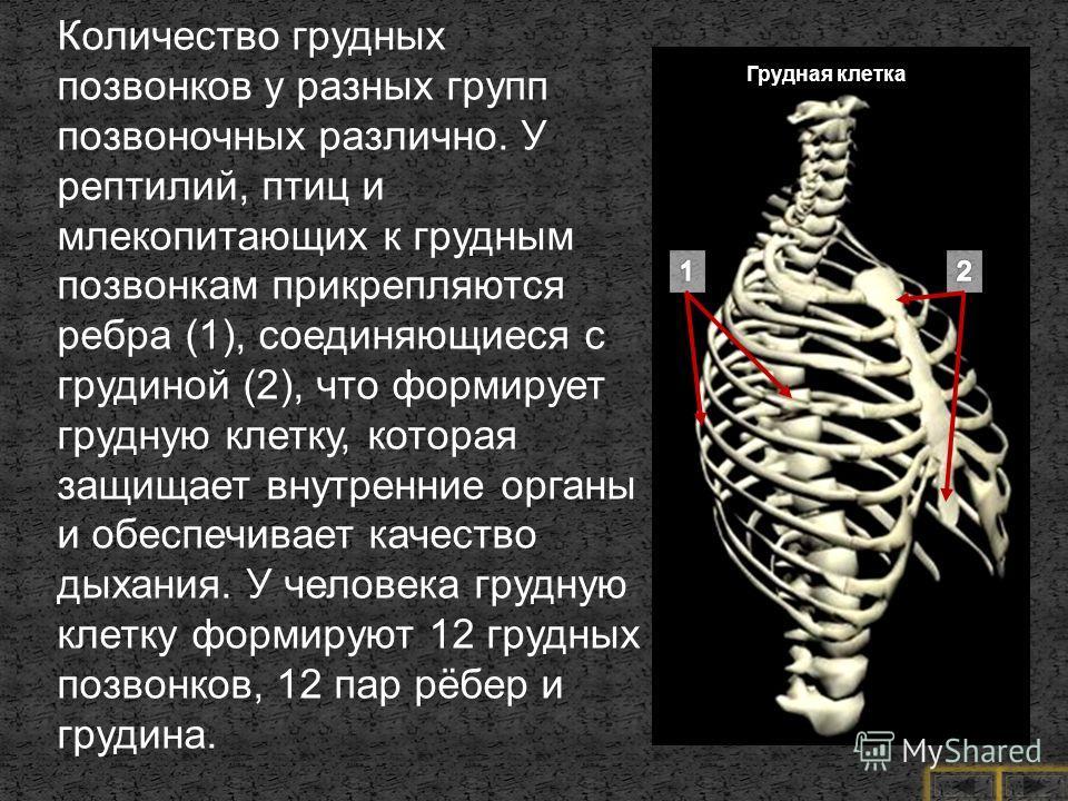 Количество грудных позвонков у разных групп позвоночных различно. У рептилий, птиц и млекопитающих к грудным позвонкам прикрепляются ребра (1), соединяющиеся с грудиной (2), что формирует грудную клетку, которая защищает внутренние органы и обеспечив