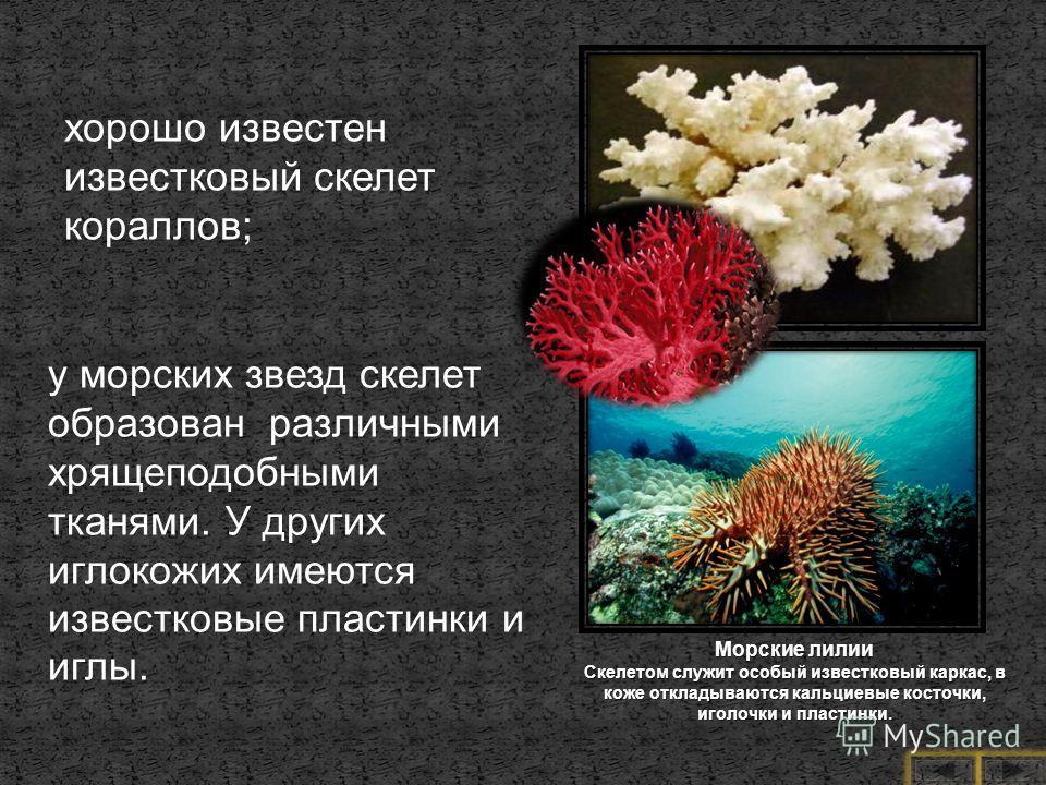 хорошо известен известковый скелет кораллов; у морских звезд скелет образован различными хрящеподобными тканями. У других иглокожих имеются известковые пластинки и иглы. Морские лилии Скелетом служит особый известковый каркас, в коже откладываются ка