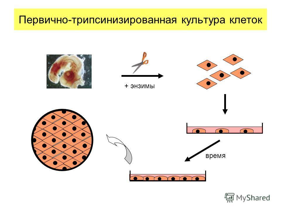 Первично-трипсинизированная культура клеток + энзимы время