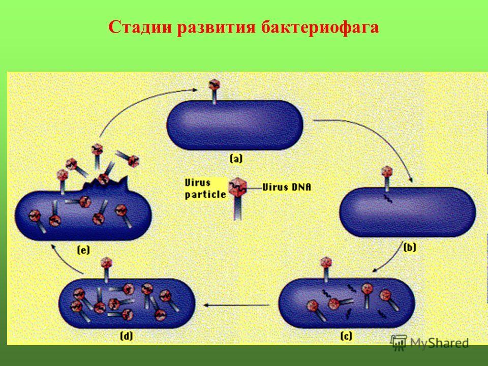 Стадии развития бактериофага