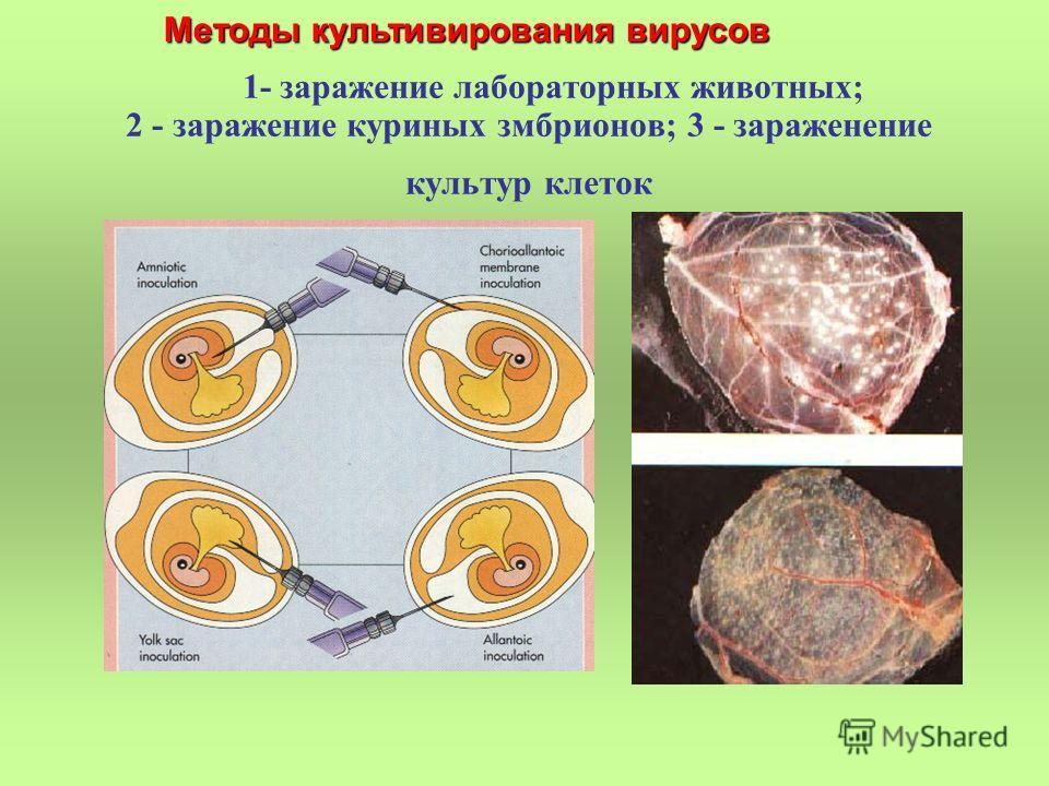1- заражение лабораторных животных; 2 - заражение куриных змбрионов; 3 - зараженение культур клеток Методы культивирования вирусов